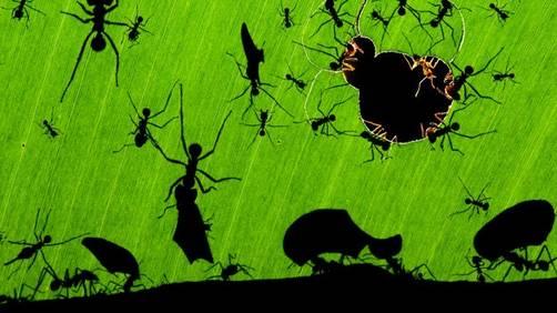 Maravilla hormigas