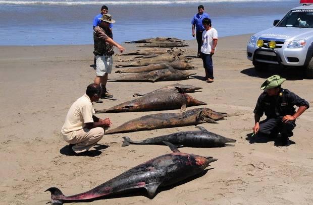Qué mata delfines pelícanos Perú