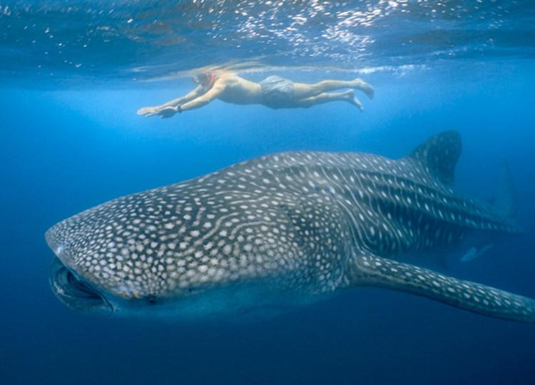 Avistando tiburones ballena Isla Mujeres