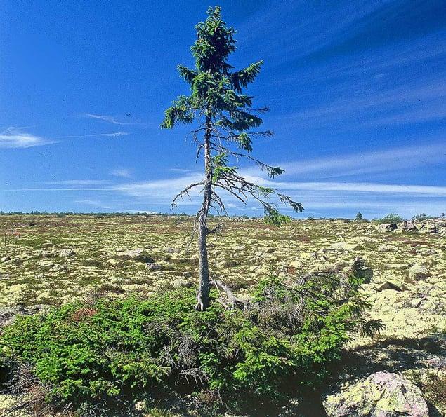 El árbol más antiguo del mundo es sorprendentemente pequeño