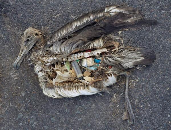 Fotografiando el estómago de aves muertas