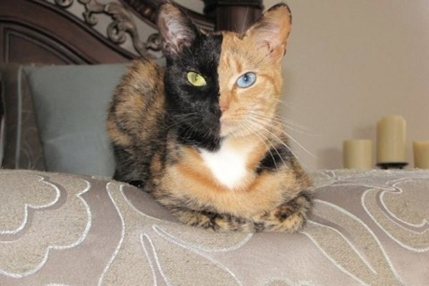 Venus, la gata que triunfa en Internet