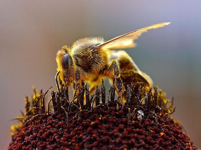 Descubren que las abejas y las flores intercambian información mediante señales eléctricas