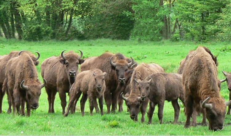 Dónde ver bisontes en libertad