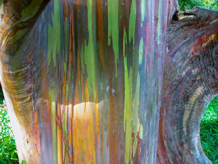 Fantasticos colores Eualipto Arco Iris3