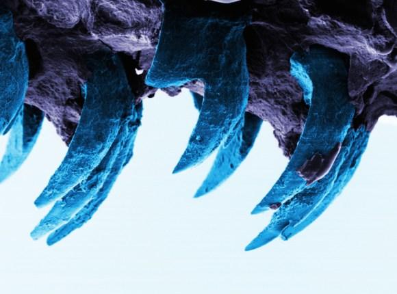 Material mas fuerte mundo natural diente lapa 3