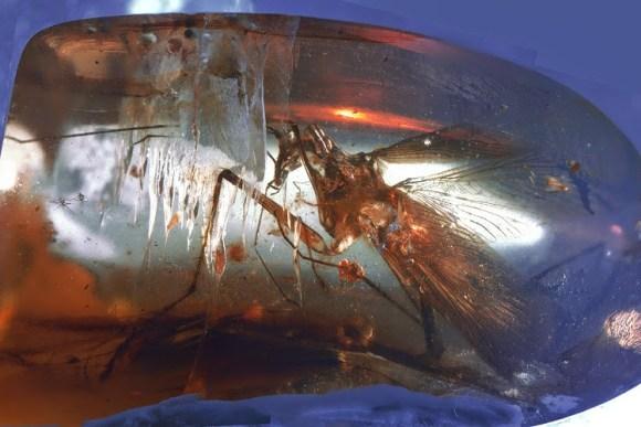 Encuentran atrapado ambar antepasado prehistorico mantis religiosa