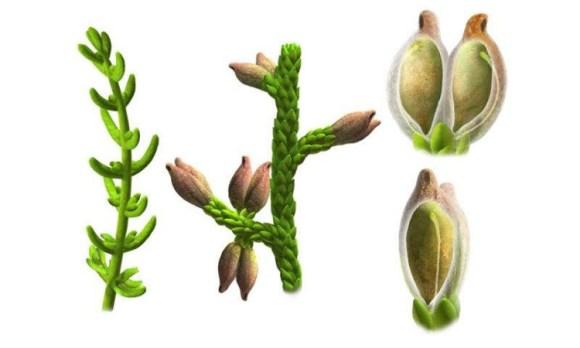 Primera planta flores conocida española 1