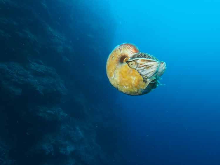 Un fósil viviente de molusco cefalópodo redescubierto en el Pacífico Sur