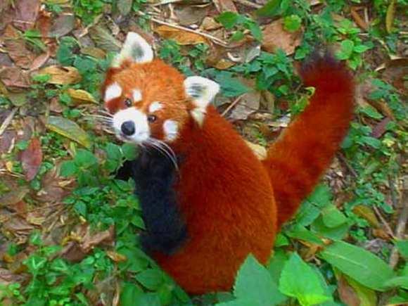 Red_Pandain_Darjiling_Zoo