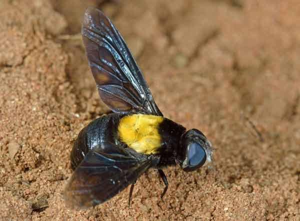 Marleyimyia-xylocopae