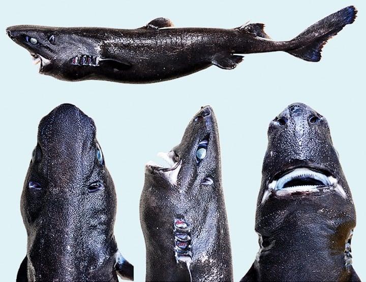 Conoce al nuevo Tiburón Linterna Ninja descubierto por un barco español