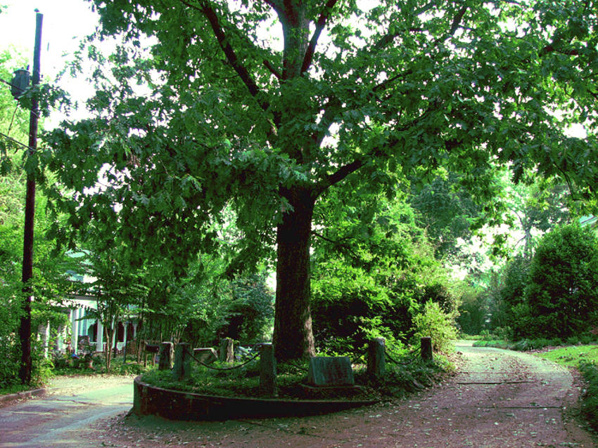 Roble Jackson, el árbol que se pertenece a sí mismo