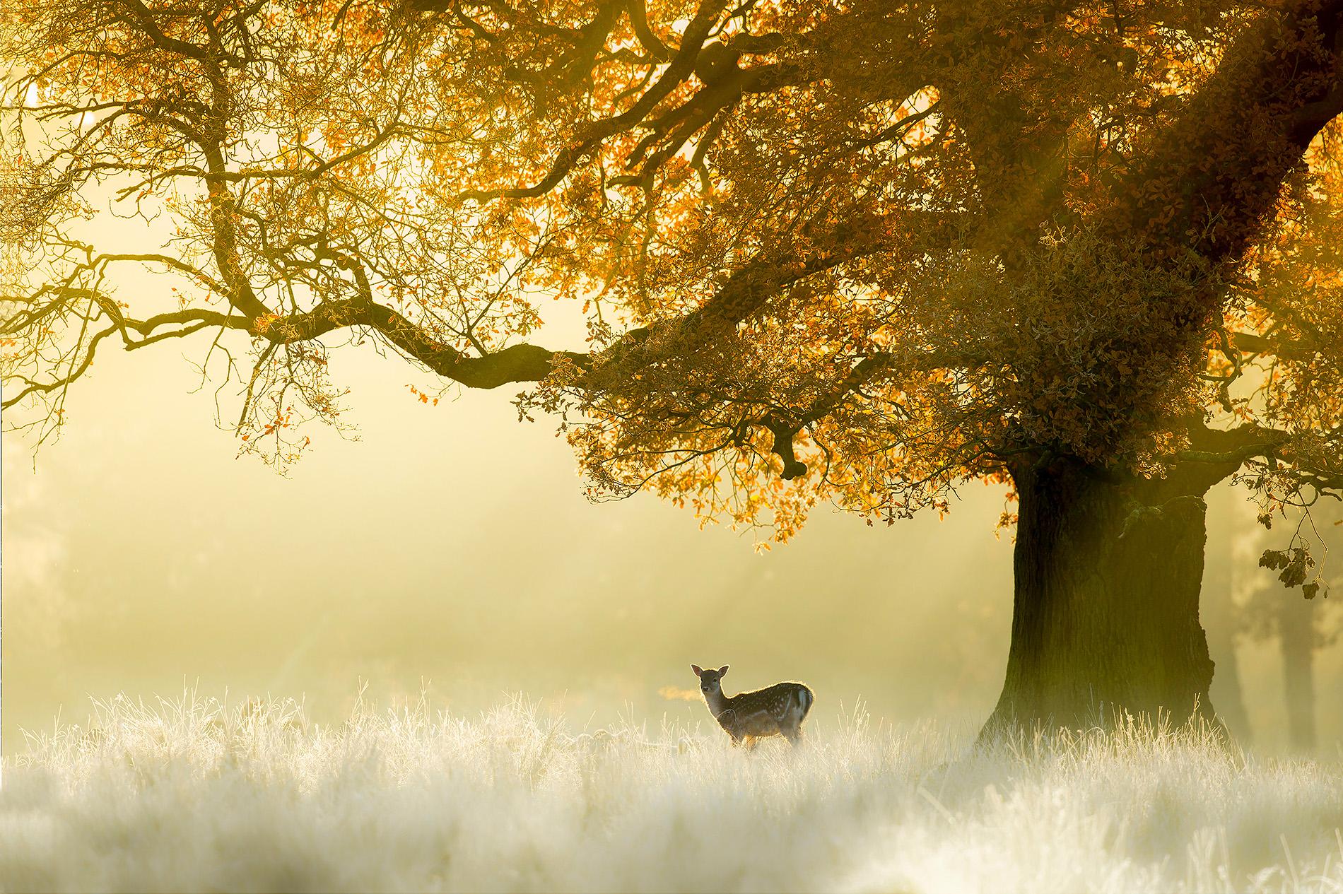 Fallow deer backlit at dawn