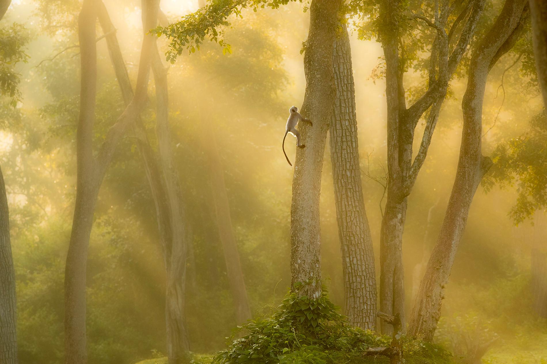 Langur Monkey at Dawn