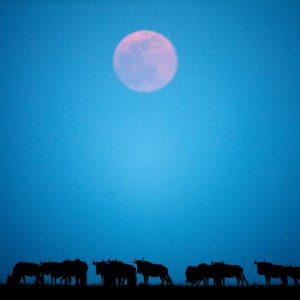 Wildebeest and Moonrise