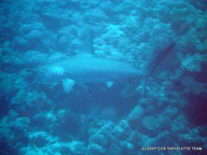 Requin Marteau Egypte