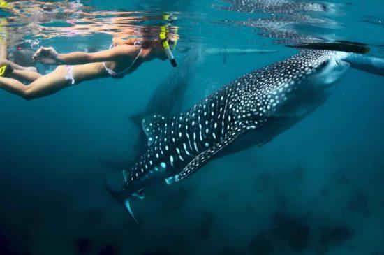 Plonger avec les requins baleines au Mozambique