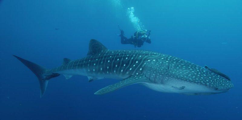 Plongée avec les requins baleines