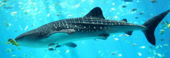 Plonger avec les requins baleines au Mexique