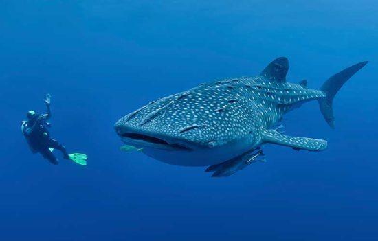 Plonger avec les requins baleines aux Philippines