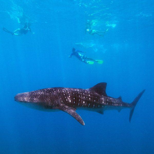 Voyage plongée Tanzanie baleine