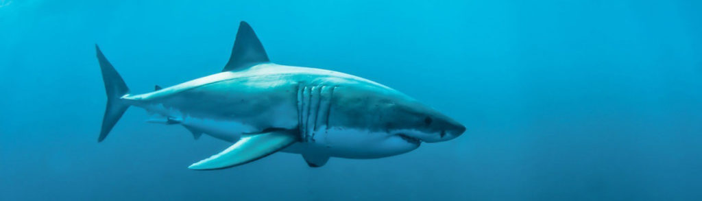 Vacance de plongée avec les grands requins blanc