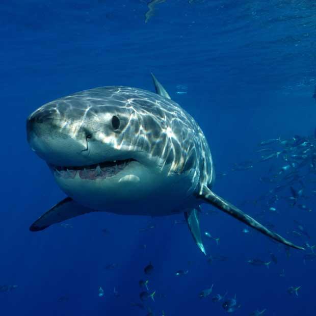 Plongée avec les grands requins Blancs au Mexique