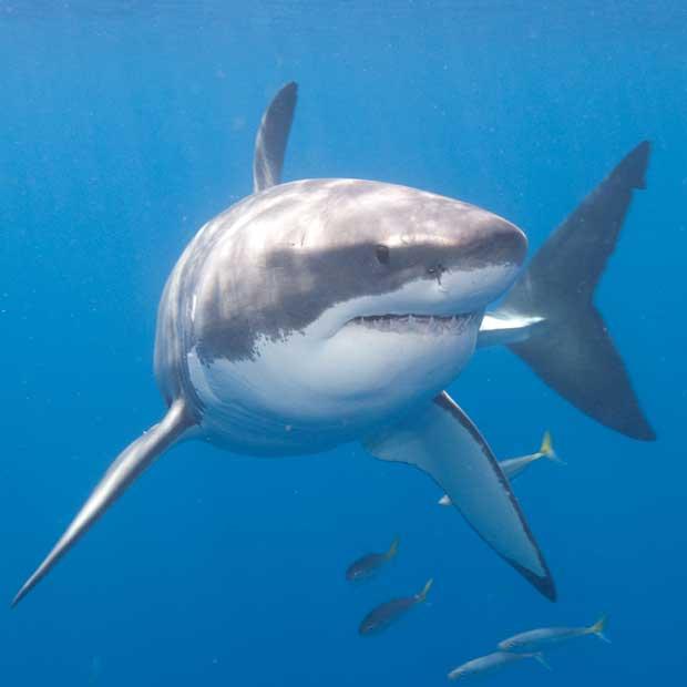 plongée grand requin blanc
