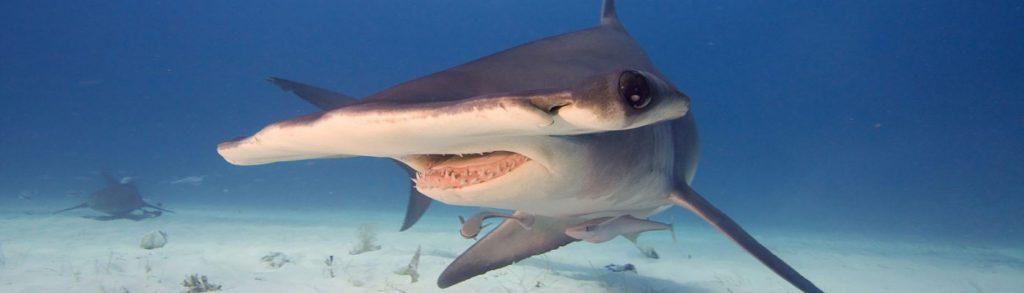 Plongée avec les requins marteaux