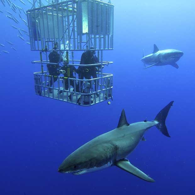 Tour opérateur plongée grand requin blanc