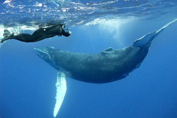 Les baleines à bosse au Mexique Des rencontres à couper le souffle avec les baleines à bosse au Mexique