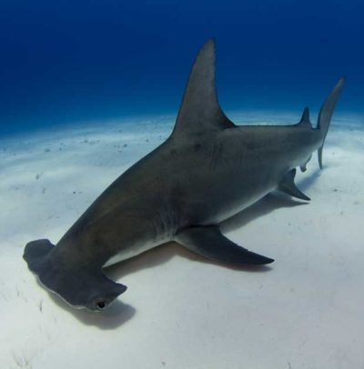 La formation des requins marteaux à Cocos Island