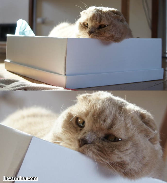Funny cute scottish fold cat, professional pet photograph, silly lolcat in box, why cats sit inside shoeboxes, round Scottish Fold kittens, flop eared purebred cats, fold ear baby cat yellow fur