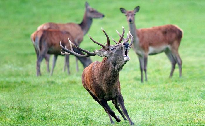 Berrea de ciervo en Somiedo, Asturias