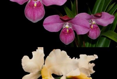 peruvian orchids