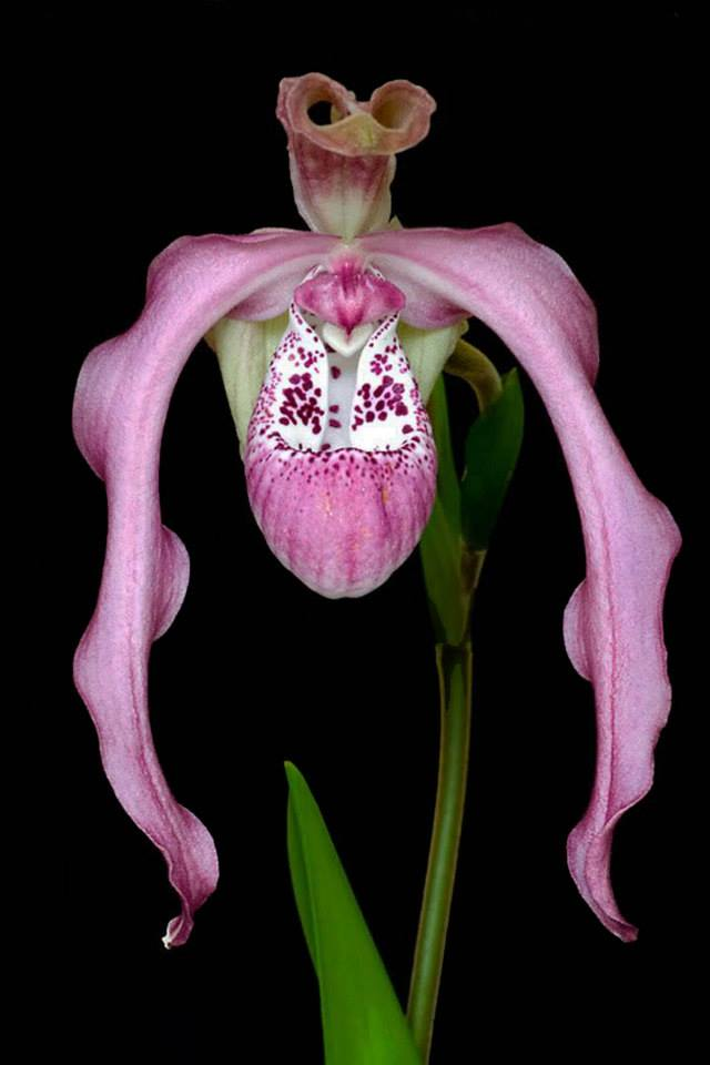 phragmipedium (kovachii x wallisii)