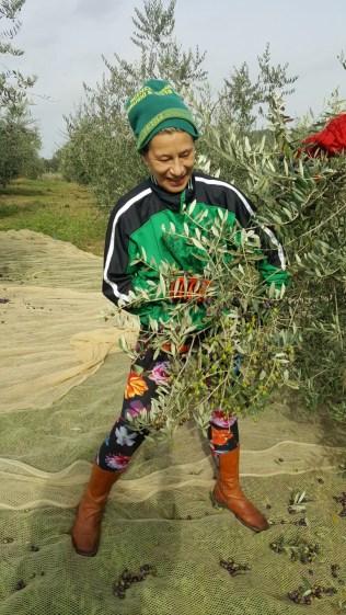 olive-harvest