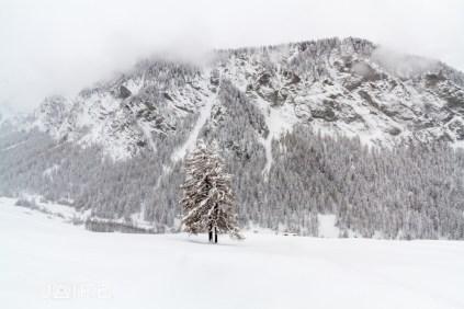 Mélèze sous la neige - Queyras 2013