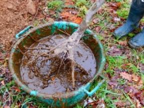 l'habillage des racines avec le pralin