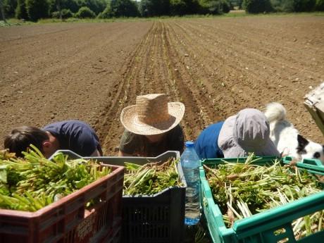 les planteurs en chapeau