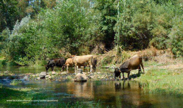 Mucche bevono nelle acque di su Golugone in Barbagia