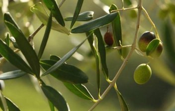 Olives-lacompagniadelchianti