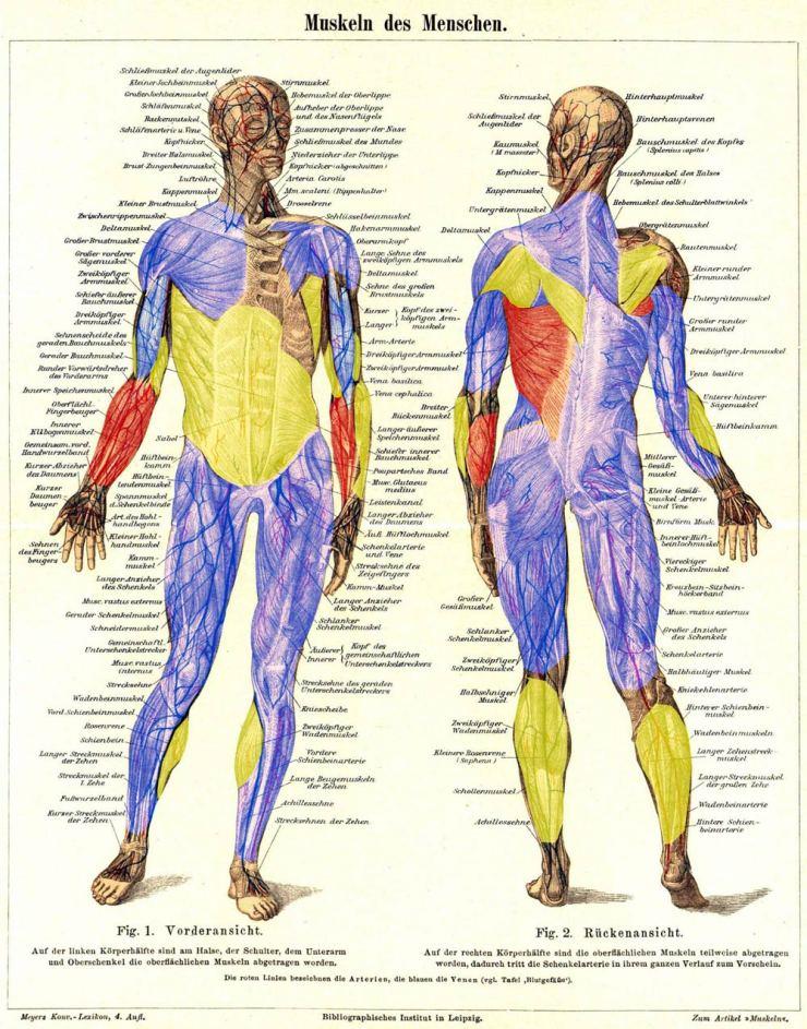 Beim-Klettern-beanspruchte-Muskulatur