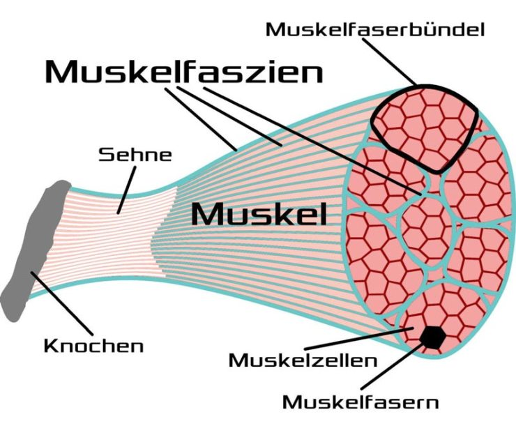 Die Faszien (Schema target10a).