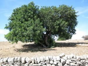 albero di carrubo