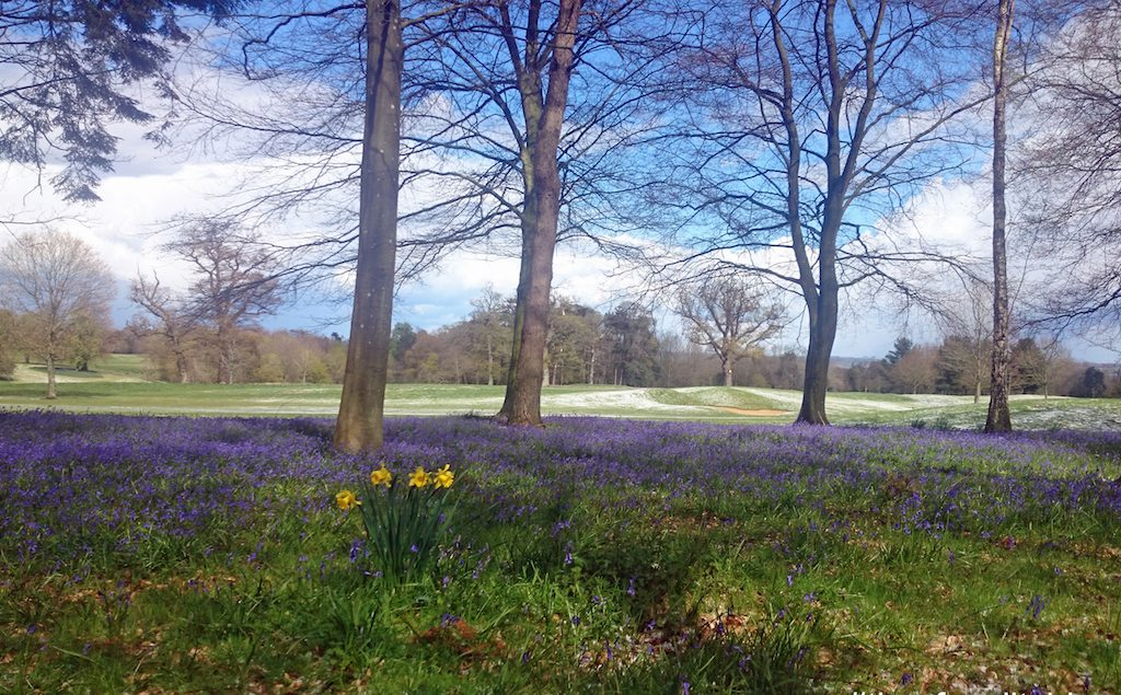Bowood bluebell woods in wiltshire credit visit wiltshire