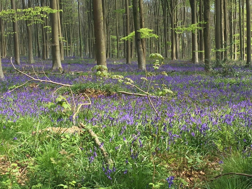 West Woods bluebell woods in wiltshire  Ladies What Travel