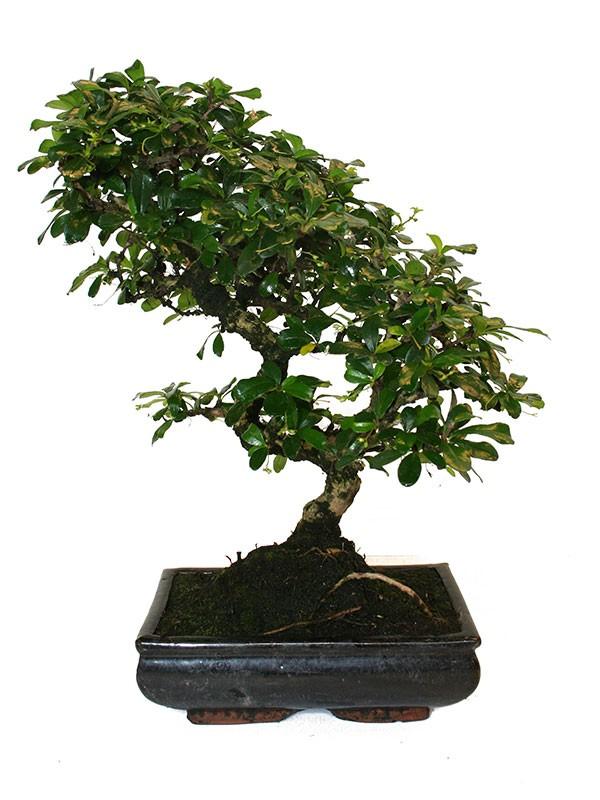 Bonsai Voor Binnen.5071 Bonsai Binnen Carmona B Ladify