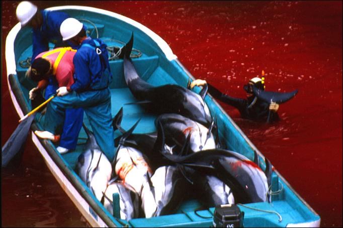 Ce que vous devez savoir sur les delphinariums - Massacre des dauphins à Taiji Copyright Oceanic Preservation Society